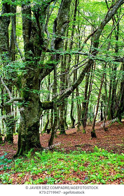 Beechwood. Saja-Besaya Natural Park. Cantabria. Spain