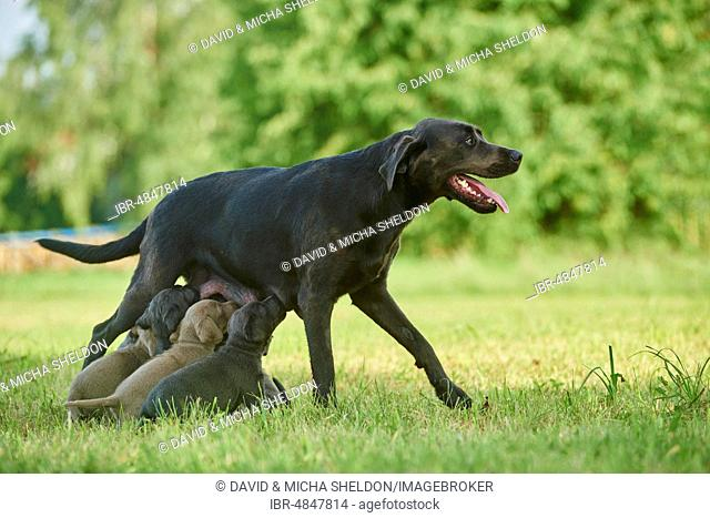 Labrador Retriever, female dog is suckling her pups on a meadow, Germany