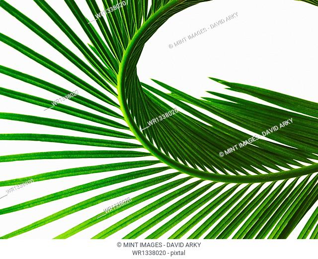 A glossy green palm leaf in close up, with central rib and paired fronds