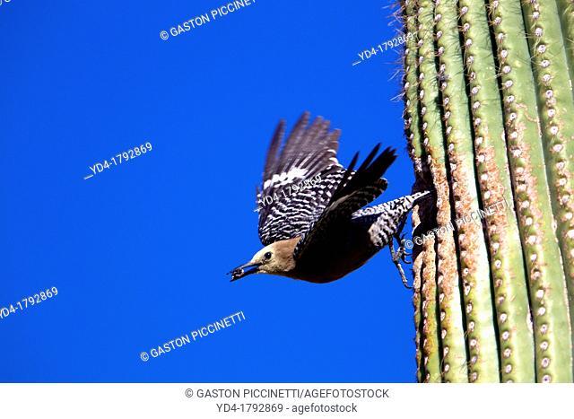 Gila Woodpecker Melanerpes uropygialis - Flying from nesting hole in Giant Saguaro, Sonora desert, Saguaro National Park, Tucson, Arizona, USA