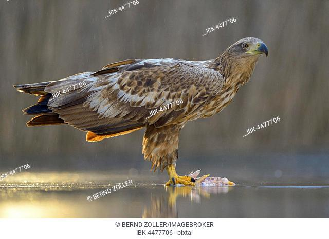 White-tailed eagle (Haliaeetus albicilla) standing on captured fish in shallow water, Kiskunság National Park, Hungary