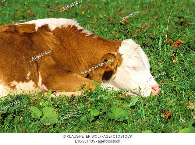 Calf sleeping