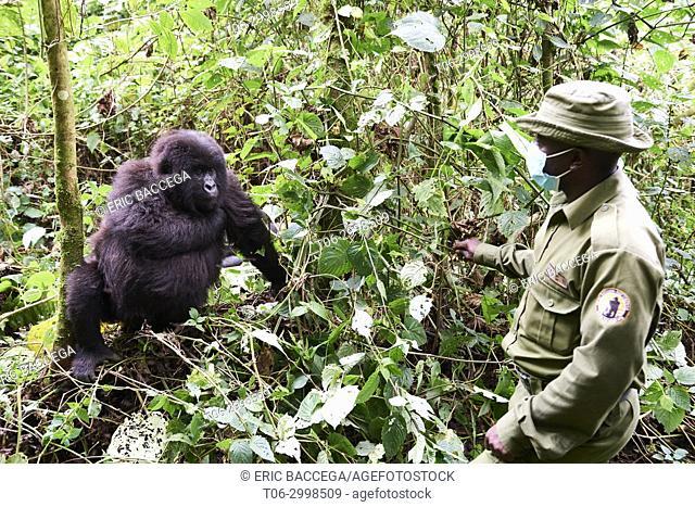 Guard from ICCN - Congolese Institute for the Conservation of Nature - with female Mountain gorilla (Gorilla beringei beringei)