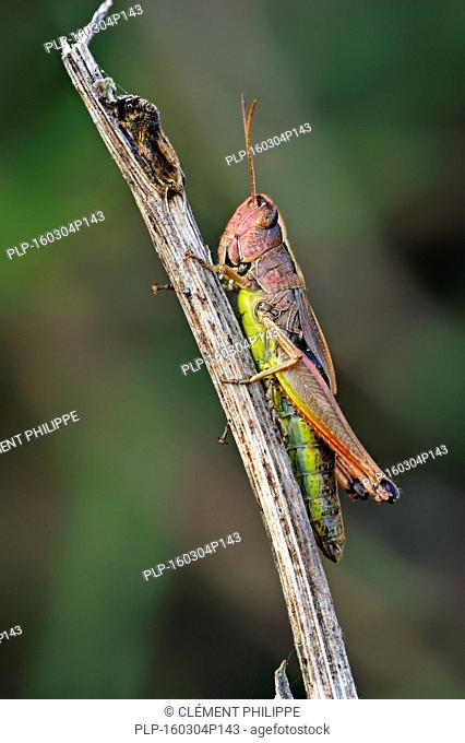 Meadow grasshopper (Chorthippus parallelus) female pink colour morph on twig