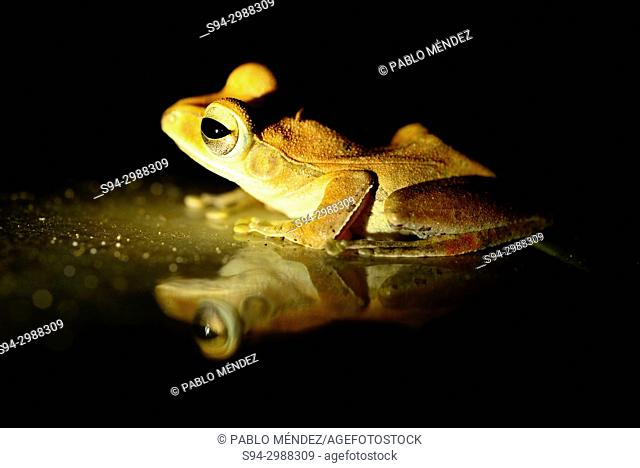 Shrub frog (Polypedates leucomystax) in Sambuk hill, Sambuk, Kratie province, Cambodia