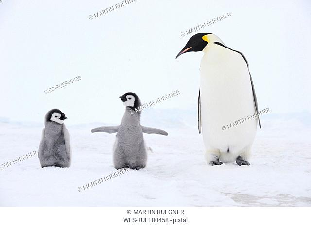 Antarctica, View of Emperor penguin with chicks