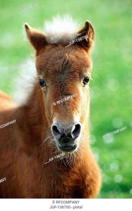 Classic Pony - foal - portrait