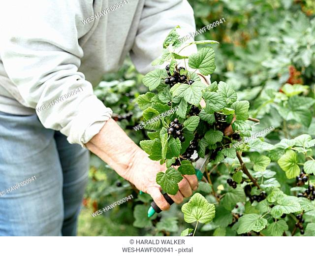 Senior woman harvesting blackcurrants by cutting of a branch