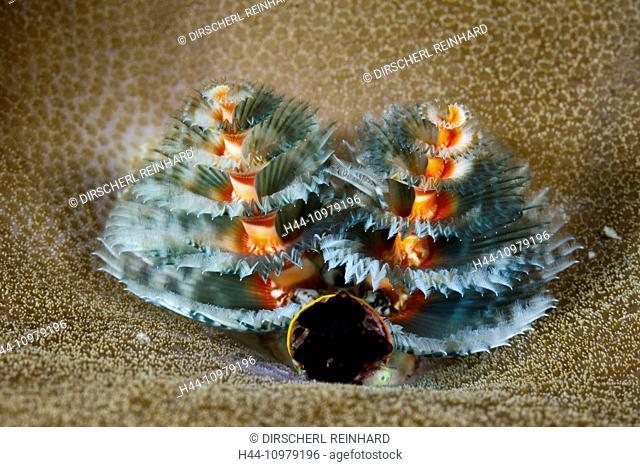 Blue Christmas Tree Worm, Spirobranchus giganteus, Kai Islands, Moluccas, Indonesia