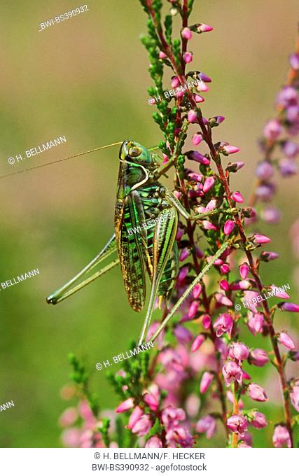 Heath Bush-Cricket, Heath Bush Cricket (Gampsocleis glabra, Decticus alberti, Gampsocleis annae, Gampsocleis podolica), male on heath, Germany