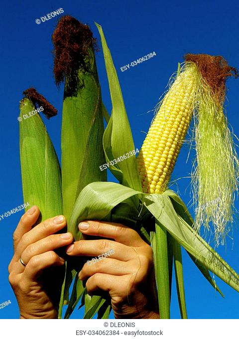 fresh harvested three corn ears in hands