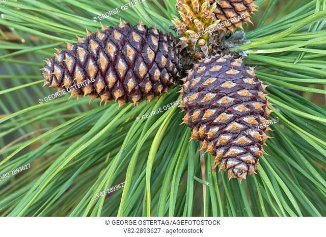 Ponderosa pine cones, Mary Minerva McCroskey State Park, Idaho
