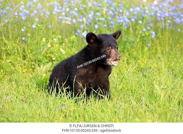 American Black Bear Ursus americanus six-month old cub, sitting in meadow, Montana, U S A , june captive