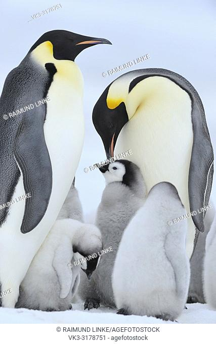 Emperor penguins, Aptenodytes forsteri, Pair with Chicks, Snow Hill Island, Antartic Peninsula, Antarctica