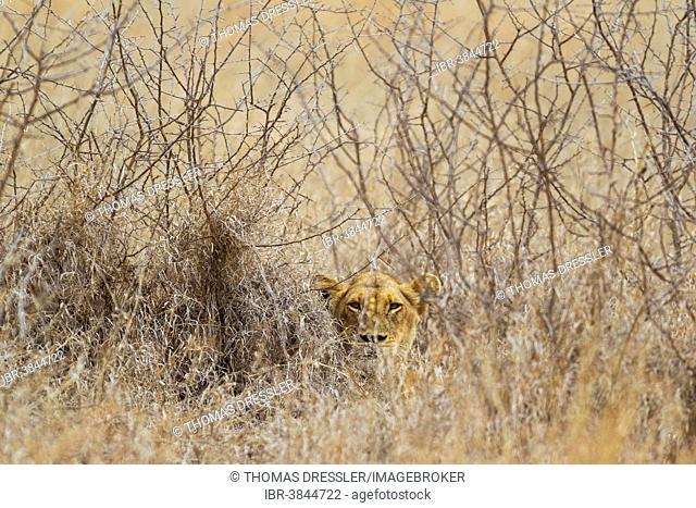 Lioness (Panthera leo), hidden, observes her surroundings, Kruger National Park, South Africa