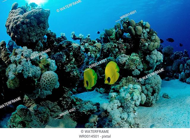Masked Butterflyfishes, Chaetodon semilarvatus, Sharm el Sheikh, Sinai, Red Sea, Egypt