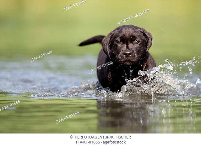 bathing Labrador Puppy