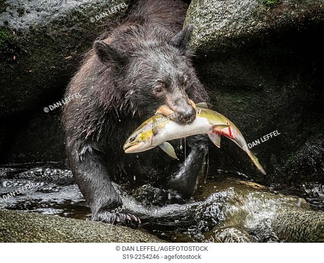 Black Bear and Salmon