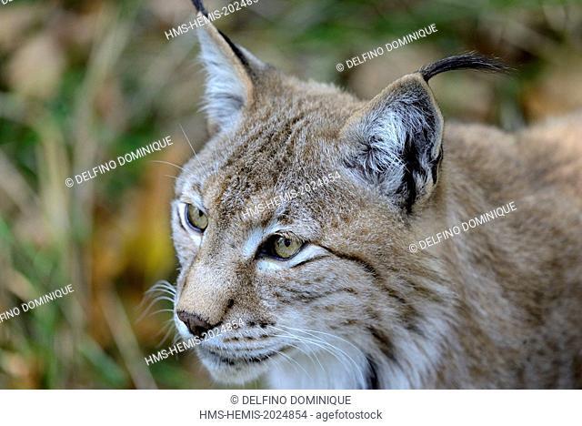 France, Moselle, Animal Park Saint Croix, Rhodes, Feline, European Lynx (Lynx lynx), close up head