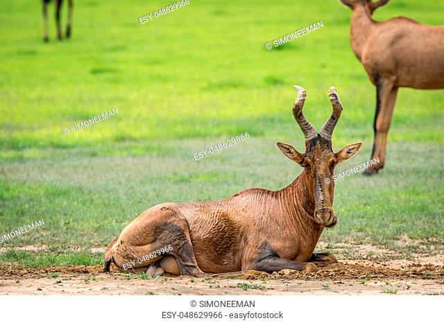 Red hartebeest taking a mud bath in the Kalagadi Transfrontier Park, South Africa