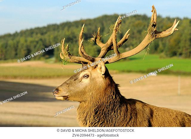 Portrait of a red deer (Cervus elaphus) male
