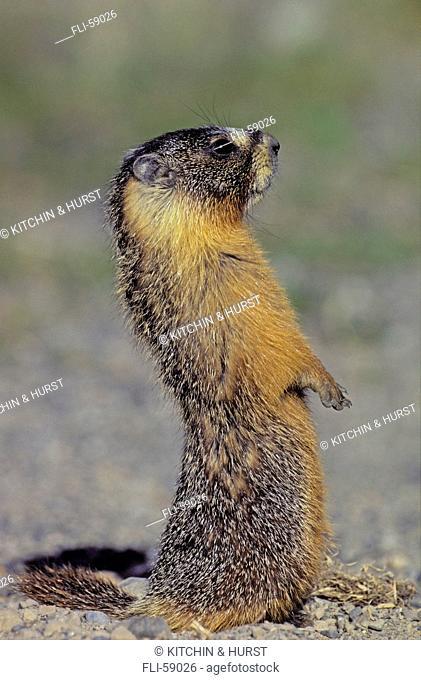 T.Kitchin, 3426B, Yellow-Bellied Marmot, Marmota Flaviventris