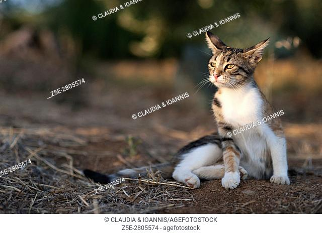Calico cat sitting outdoors and looking very attentive