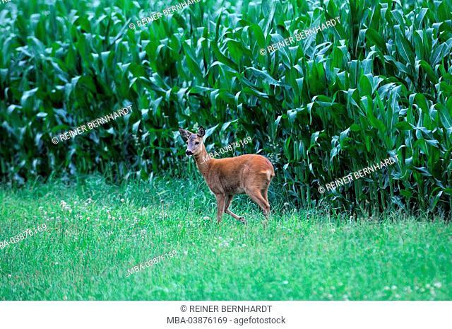deer in the corn field