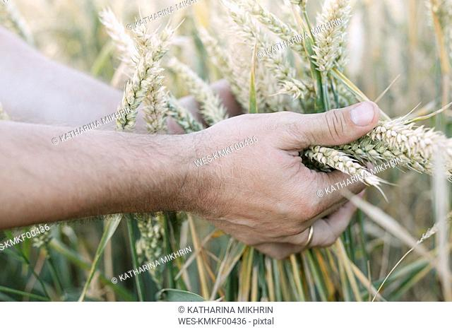 Man's hand holding unripe wheat ears