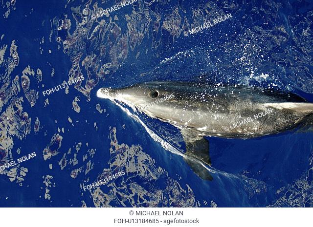 Adult rough-toothed dolphin Steno bredanensis bow riding the National Geographic Endeavour near Ascension Island. South Atlantic Ocean