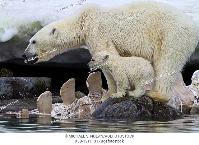 Mother polar bear Ursus maritimus with COY cub-of-year feeding on a fin whale carcass in Holmabukta on the northwest coast of Spitsbergen in the Svalbard...