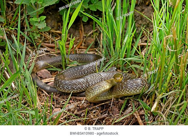Aesculapian snake (Elaphe longissima, Zamenis longissimus), winding on the ground, Germany, Baden-Wuerttemberg, Odenwald