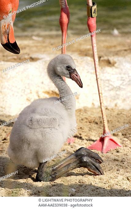 Caribbean Flamingo chick with parent (Phoenicopterus ruber ruber) Flamingo Lagoon, San Diego Zoo San Diego, California