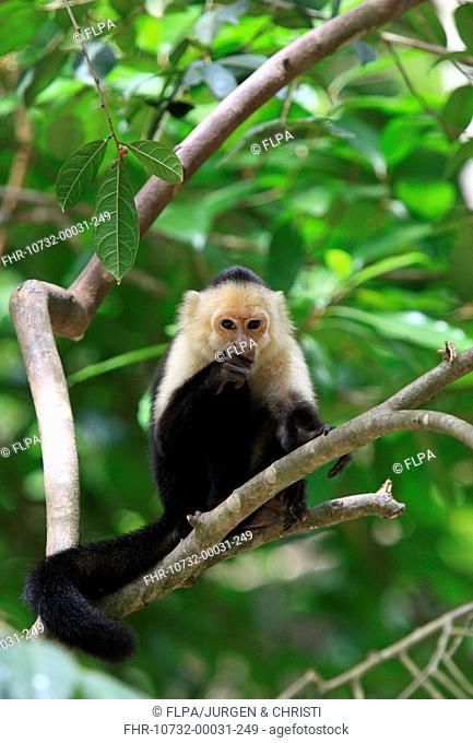 White-throated Capuchin Cebus capucinus adult male, feeding in tree, Roatan, Honduras