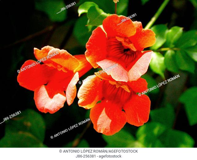 Trumpet Vine (Campsis radicans)
