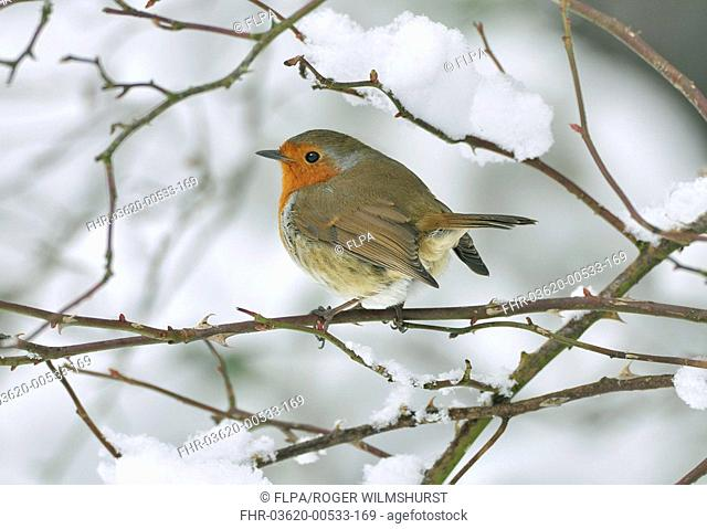 European Robin Erithacus rubecula adult, perched on snow covered stem, West Sussex, England, february