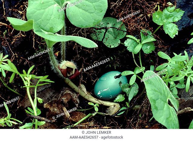 Fallen Robin's Egg in Wild Ginger Blossoms (Asarum canadense), Dowagiac Woods, MI