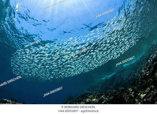 Shoal of Sardines, Sardinops sagax, La Paz, Baja California Sur, Mexico