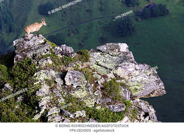 Alpine Ibex (Capra ibex), adult female standing on rock in mountain habitat, Niederhorn, Bernese Oberland, Switzerland