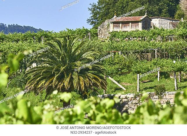 Meaño, Albariño Area, Albariño Grape Vineyard, Pontevedra, Galicia, Spain