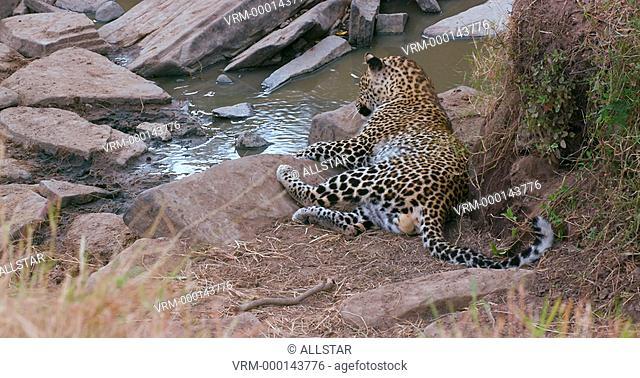 LEOPARD RESTING ON ROCKS; MAASAI MARA KENYA, AFRICA; 04/09/2016