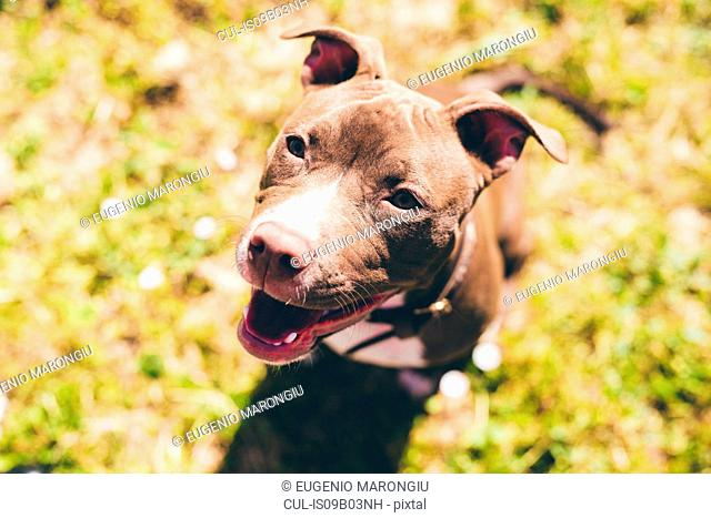 Overhead portrait of pit bull terrier looking up