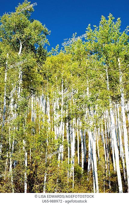 Aspen trees in Colorado, USA