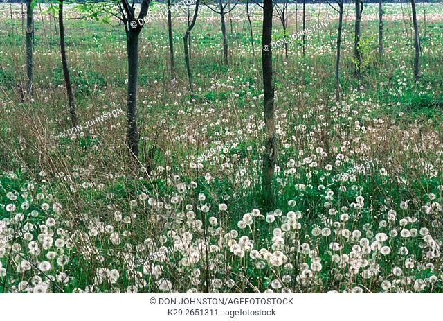 Young trees and seeding dandelions in Fred Cada Memorial Forest, Leamington, Ontario, Canada