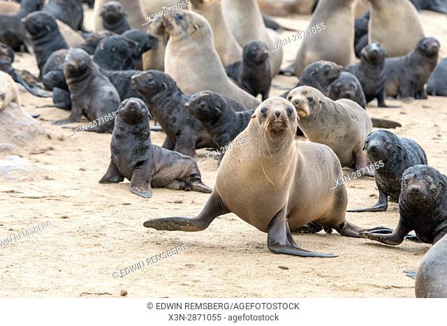 Cape fur mother seals and their young are gathered at the Cape Cross Seal Reserve, located in Namibia, Africa