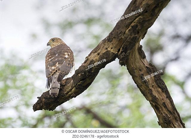 Shikra (Accipiter badius) perched on branch. Keoladeo National Park. Bharatpur. Rajasthan. India