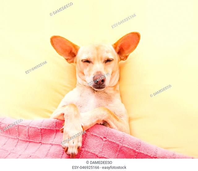 chihuahua dog with headache and hangover sleeping in bed like a baby with pacifier dreaming sweet dreams