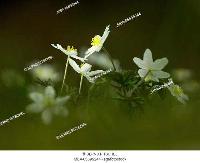 Wood anemones, close-up, anemone nemorosa