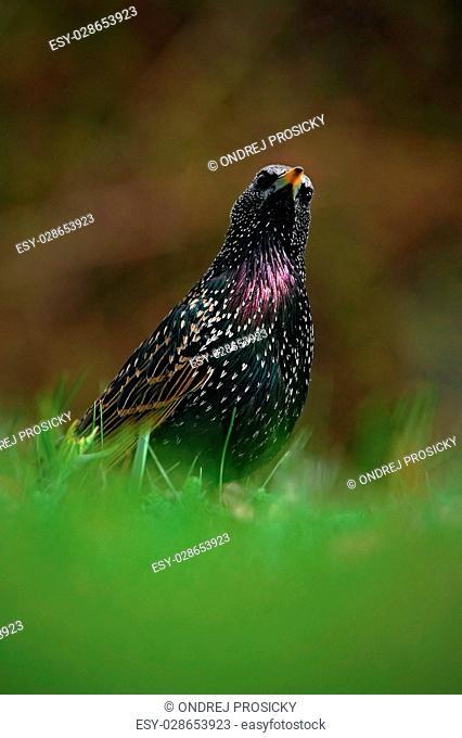 European Starling, Sturnus vulgaris