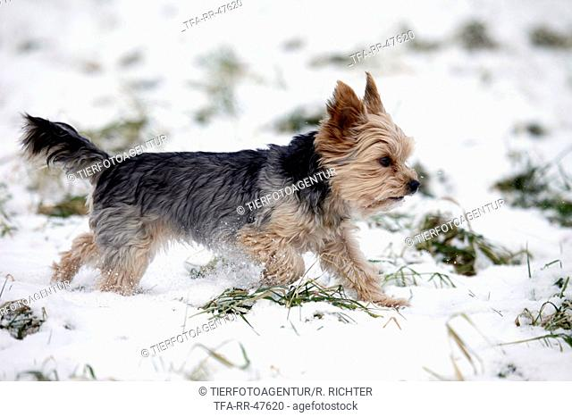 walking Yorkshire Terrier